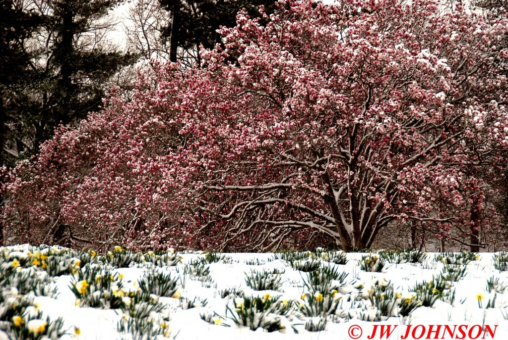 Daffodils and Dogwoods in Snow