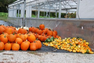 74 Amish Grown Pumpkins