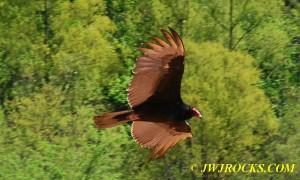 02 Buzzard In Flight