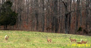 21 Deer Flee For Safety of Woods