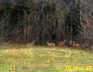 22 Deer At Edge of Woods