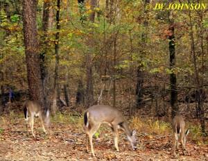 Deer Feeding on North Drive