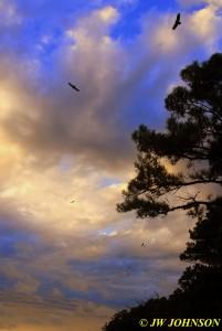 Start of Sunset 1106 Vultures Flying 2W