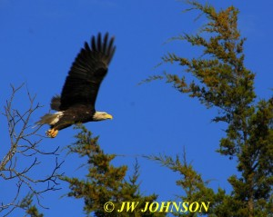 07 Bald Eagle Takes Flight