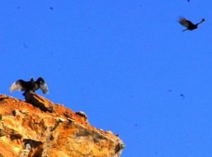 123 Vulture Spreads Wings on Rocky Point