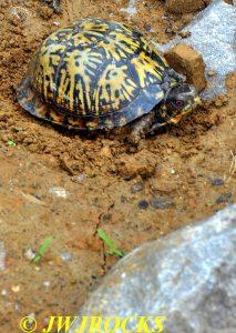 13 Box Turtle